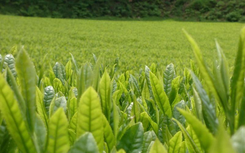 緑茶の旬 PART2